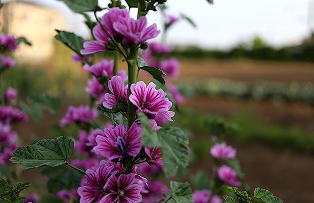 ぜにあおい(銭葵)Malva sylvestris var. mauritiana (3)