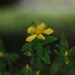 びょうやなぎ 未央柳)Hypericum monogynum (1)