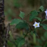 わるなすび(悪茄子)Solanum carolinense (1)