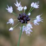 のびる (野蒜)Allium macrostemon