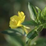 おおまつよいぐさ大待宵草)Oenothera erythrosepala (4)