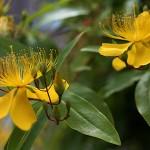 びょうやなぎ 未央柳)Hypericum monogynum (3)
