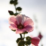 たちあおい (立葵)Althaea rosea