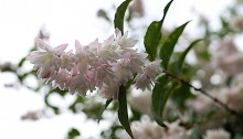 うつぎ(空木)Deutzia crenata (1)