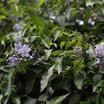 つるはななす(蔓花茄子)Solanum jasminoides
