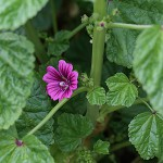 ぜにあおい(銭葵)Malva sylvestris var. mauritiana (1)