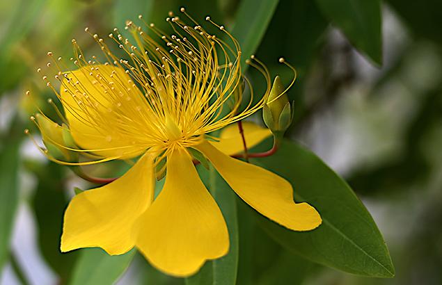 びょうやなぎ 未央柳)Hypericum monogynum (4)