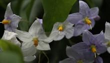つるはななす(蔓花茄子)Solanum jasminoides (1)