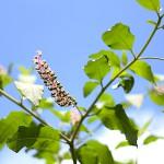 アメリカやまごぼう(亜米利加山牛蒡)Phytolacca americana (2)
