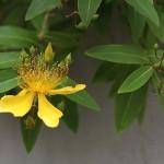 びょうやなぎ 未央柳)Hypericum monogynum (2)