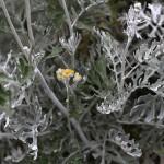 しろたえぎく(白妙菊)Senecio cineraria (3)