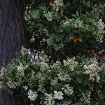 とうねずみもち (唐鼠黐)Ligustrum lucidum (2)
