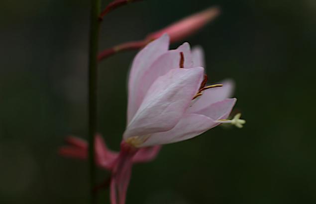 はくちょうそう (白蝶草 )Gaura lindheimeri (2)