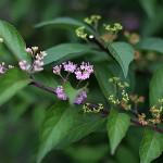 こむらさき((小紫)Callicarpa dichotoma (3)
