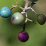 のぶどう((野葡萄)Ampelopsis glandulosa (4)