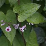 へくそかづら((屁糞葛)Paederia scandens (3)
