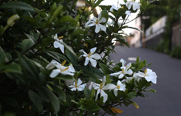 くちなし((梔子)Gardenia jasminoides (2)