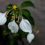 こんろんか(崑崙花)Mussaenda parviflora (3)