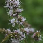 おらんだはっか((阿蘭陀薄荷)Mentha spicata (1)