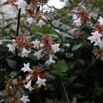 はなぞのつくばねうつぎ(花園衝羽根空木)Abelia × grandiflora