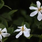 くちなし((梔子)Gardenia jasminoides