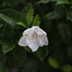 くちなし((梔子)Gardenia jasminoides (3)