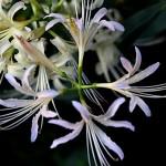 ひがんばな(彼岸花)Lycoris radiata (7)