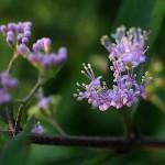 こむらさき((小紫)Callicarpa dichotoma (1)