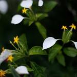 こんろんか(崑崙花)Mussaenda parviflora