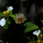 こんろんか(崑崙花)Mussaenda parviflora (1)