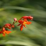 ひめひおうぎずいせん(姫檜扇水仙)Crocosmia x crocosmiiflora (4)
