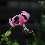 おにゆり((鬼百合)Lilium lancifolium