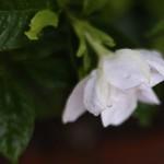 くちなし((梔子)Gardenia jasminoides (4)