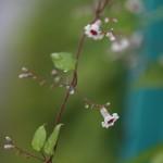 へくそかづら((屁糞葛)Paederia scandens (7)