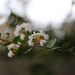 さるすべり( (百日紅)Lagerstroemia indica (4)