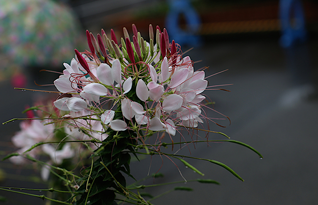 せいようふうちょうそう(西洋風蝶草)Cleome spinosa (4)