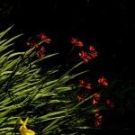 ひめひおうぎずいせん(姫檜扇水仙)Crocosmia x crocosmiiflora (3)