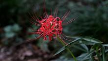 ひがんばな(彼岸花)Lycoris radiata (4)