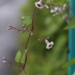 へくそかづら((屁糞葛)Paederia scandens (8)