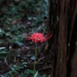 ひがんばな(彼岸花)Lycoris radiata (2)