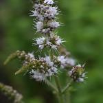 おらんだはっか((阿蘭陀薄荷)Mentha spicata (2)