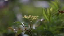 やぶからし((薮芥子)Cayratia japonica (3)