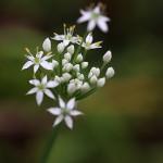 にら 韮)Allium tuberosum (5)
