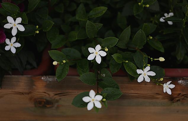 セイロンライティア(Wrightia antidysenterica