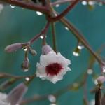 へくそかづら((屁糞葛)Paederia scandens (4)