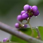 こむらさき((小紫)Callicarpa dichotoma (5)