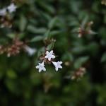 はなぞのつくばねうつぎ(花園衝羽根空木)Abelia × grandiflora (3)
