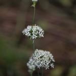 にら 韮)Allium tuberosum (1)