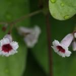 へくそかづら((屁糞葛)Paederia scandens (2)