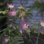 ねむのき(合歓の木)Albizia julibrissin (3)